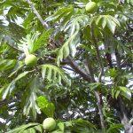 Colour photograph showing a plant specimen of Artocarpus altilis - breadfruit (copyright Mark Nesbitt)